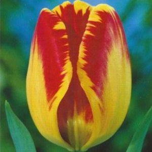 Tulips Darwin Hybrid