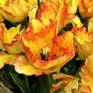 Tulips Parrot