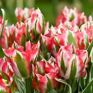 Tulips Viridiflora