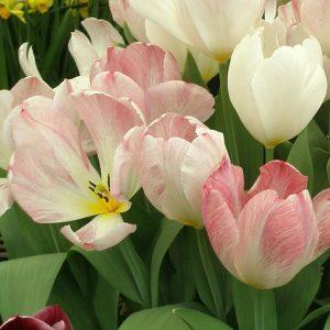 Tulips Fosterinia