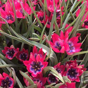 Tulips Species