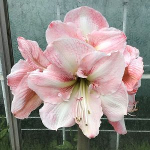 Amaryllis Winter Delight