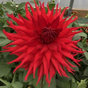 dahlia holly houston