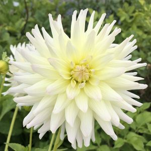 Dahlia Clearview Sarah