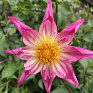 Dahlia Fancy Pants