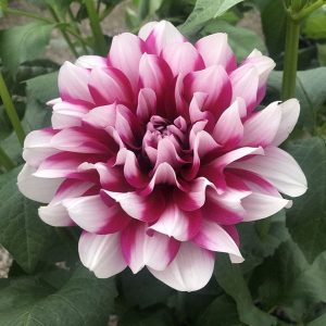 Dahlia Patches