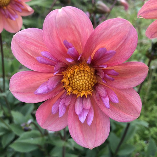 Dahlia Strawberry BobBon