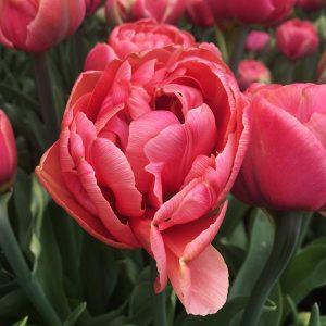 Tulip Copper Image